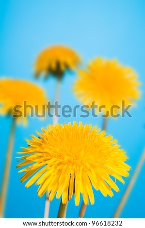 yellow dandelion on blue sky - stock photo