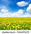 yellow dandelion on meadow in spring - stock photo