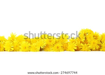 Yellow dandelion on white background - stock photo