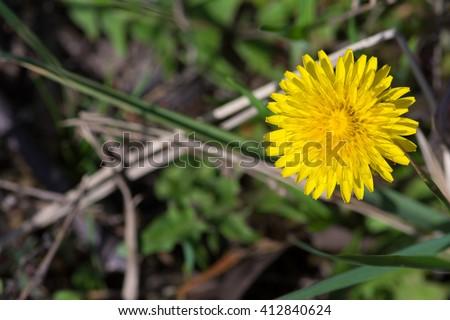 Yellow dandelion spring flowering - stock photo