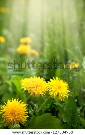 yellow dandelions grow in a green meadow - stock photo