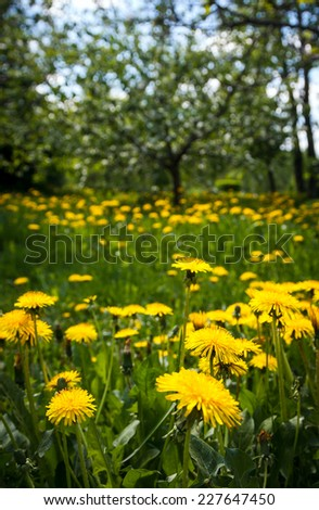 yellow dandelions in a grass nearby trees - stock photo
