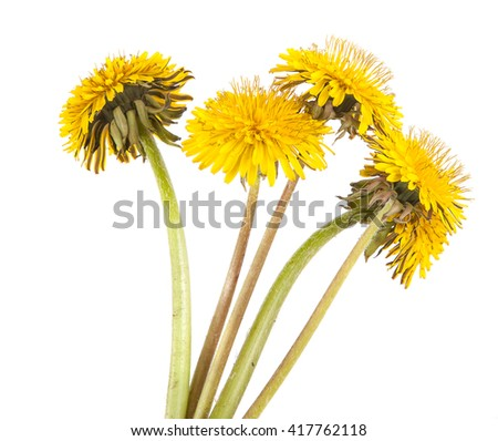 yellow dandelions isolated on white background