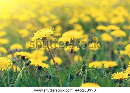 Yellow dandelions on a green grass witth sunlight - stock photo