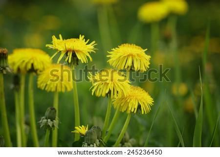yellow dandelions on field, springtime closeup photo - stock photo