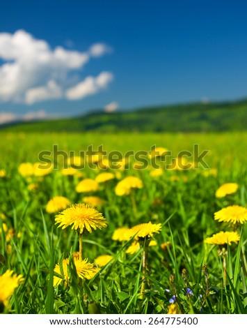 Yellow dandelions on green field - stock photo