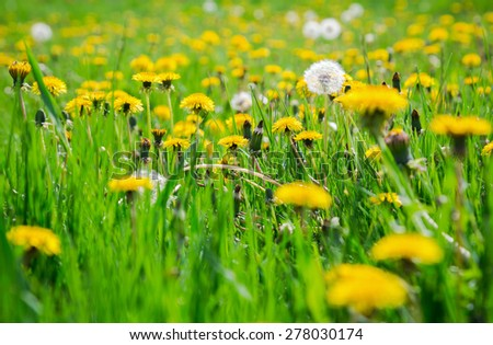 Yellow dandelions on green meadow, close-up - stock photo