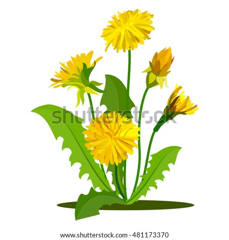 Yellow dandelions set isolated on white. Graphic illustration