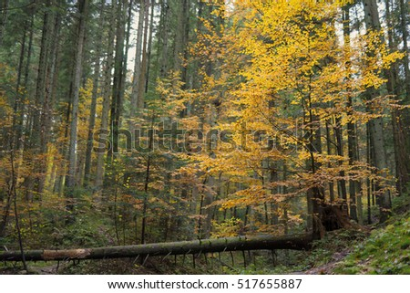 Yellow deciduous tree in the coniferous wood