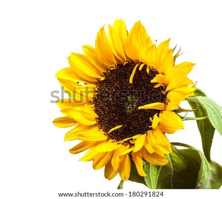 yellow decorative sunflowers isolated on white background. - stock photo