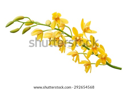 Yellow Dendrobium Orchid on White Background - stock photo
