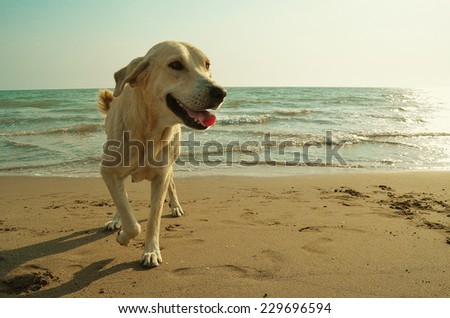 Yellow dog on the beach - stock photo