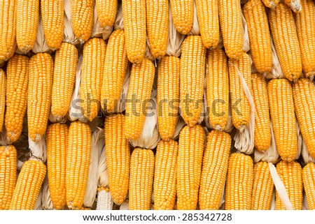 Yellow dried corn bundle together texture - stock photo