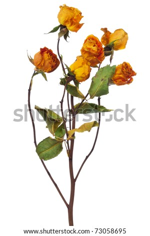 yellow dry roses on a white background - stock photo
