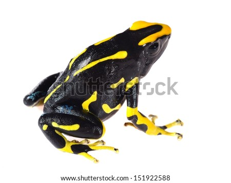 Yellow dyeing dart frog Dendrobates tinctorius allanis isolated on white - stock photo