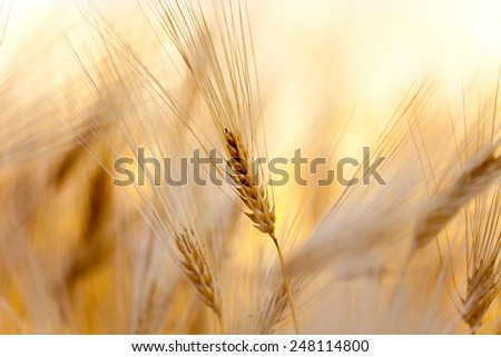 yellow ear of wheat on the field - stock photo