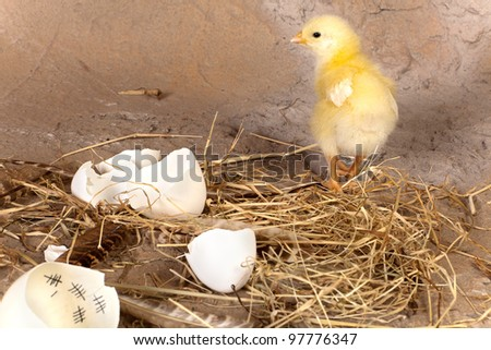 Yellow easter chick walking away from an eggshell with a calendar inside