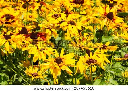 Yellow echinacea flowers - stock photo