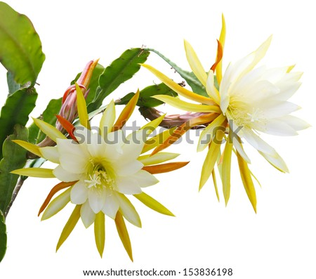 Yellow epiphyllum Flower plant isolated on white background - stock photo