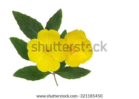 Yellow Evening Primrose (Oenothera fruticosa) flower and leaf isolated on white background - stock photo