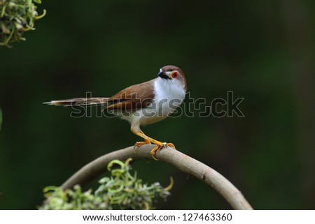 Yellow-eyed Babbler a Beautiful bird with red eyes on the branch with black background - stock photo