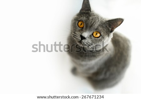 yellow eyed british cat isolated white - stock photo
