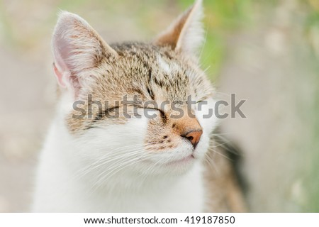 Yellow eyed domestic shimmering cat close up portrait with homogenous blurry background