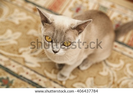 Yellow-eyed exotic cat sitting on the floor - stock photo
