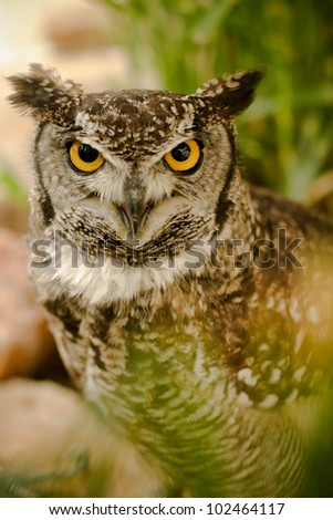 Yellow eyed owl with a serious, hard look