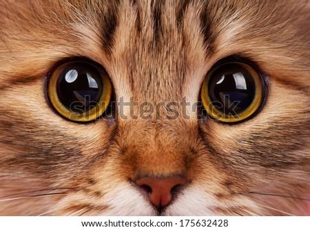 Yellow eyes of adult siberian cat close-up - stock photo