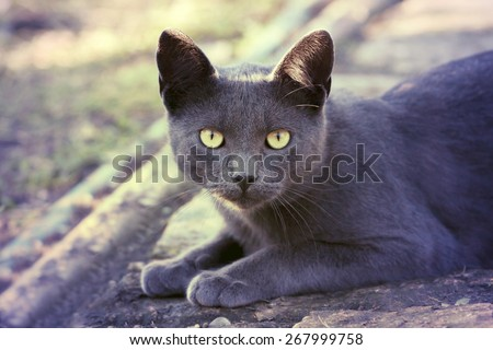Yellow eyes silver cat looking looking at the camera - stock photo
