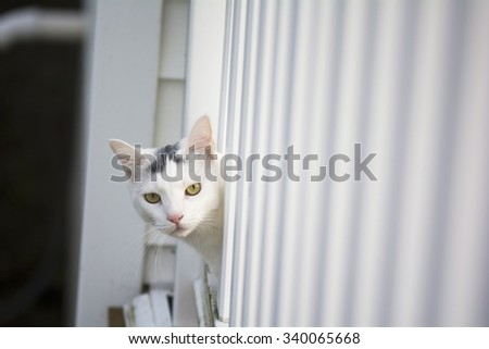 Yellow eyes white cat peeking head out of the white deck, young playful cat on the deck, cat playing outside at home,  - stock photo
