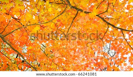 yellow fall maple leafs illuminated by sun floral natural background