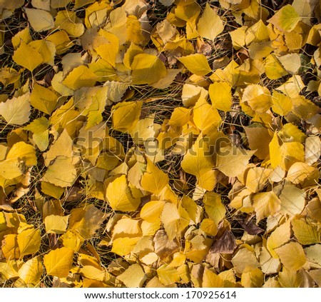 yellow fallen leaves of the tree lies on the dry grass - stock photo