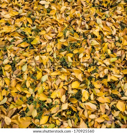 yellow fallen leaves of the tree lying on the ground - stock photo