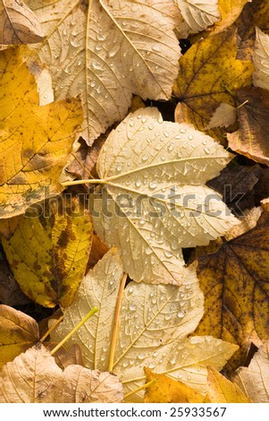Yellow fallen leaves with drops of water in the sun