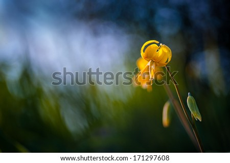 Yellow Fawn-lily in the evening. - stock photo
