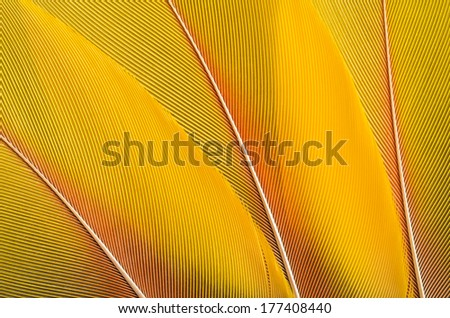 Yellow feathers background composition. Real MACAW bird Feathers. Natural colors: Yellow. - stock photo