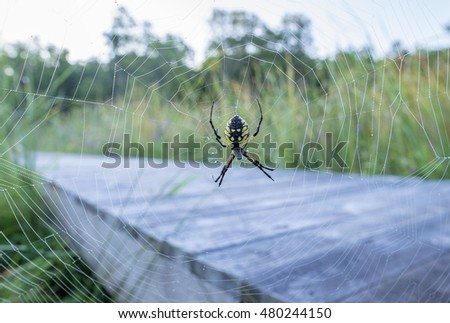 Yellow Female Garden Spider on the Web