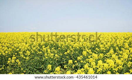 Yellow Field Brassica napus, colza, canola or rapeseed ,Hokkaido Japan - stock photo