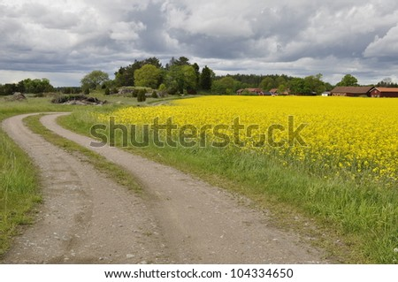 Yellow field of blooming rapeseed and dirt track trough agricultural land - stock photo