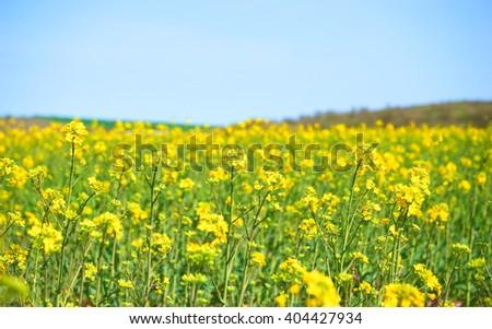 Yellow field of colza culture in Bulgaria - stock photo