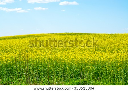 Yellow field of rape against the blue sky with clouds