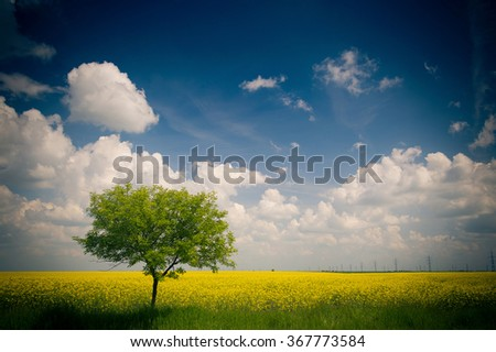Yellow field of rape / Canola Rapeseed Field - stock photo