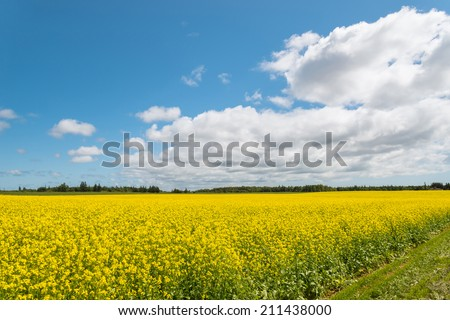 Yellow field rapeseed in bloom (Green Gables Shore, Prince Edward Island , Canada) - stock photo