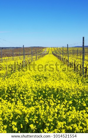 yellow field, vineyard at south of Portugal