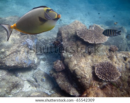 Yellow-fin Surgeonfish (Acanthurus xanthopterus)swimming over coral reef, with fish in background
