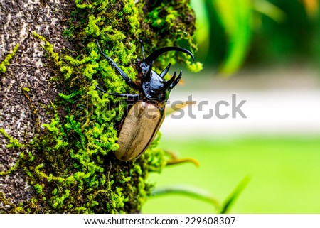 Yellow five-horned beetle On tree