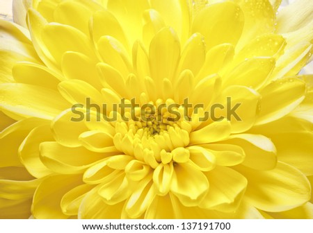 Yellow flower background - stock photo