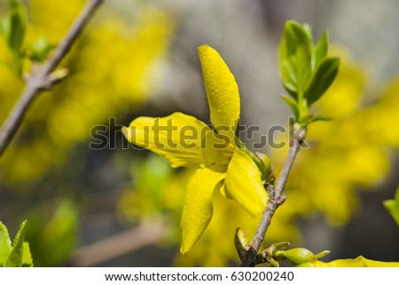 yellow bush flowers forsythia stock images, royaltyfree images, Natural flower